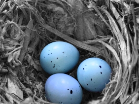 Wildlife photography of three blue speckled eggs in a nest.