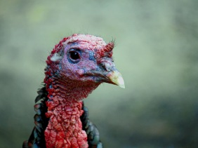 Wildlife photography of a head of a turkey from Magnolia Plantation and Gardens in South Carolina.