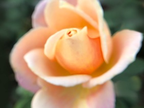 Floral photography of a softly focused peach-colored rose from The Biltmore Estates in North Carolina.