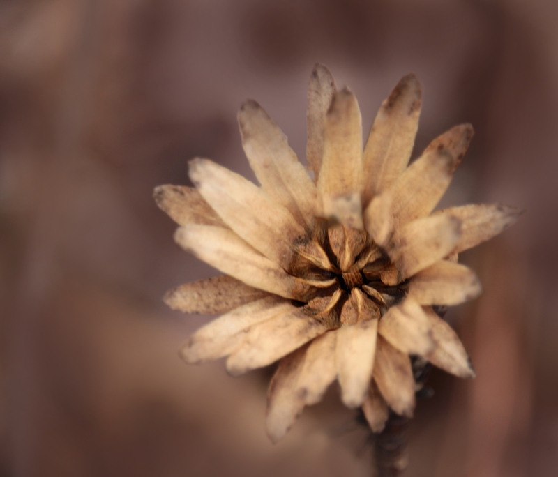 Close up floral photography of a dry brown flower blossom.
