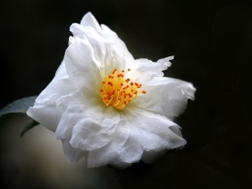 Close up floral photography of a white camellia blossom from Brookstone Gardens in South Carolina.
