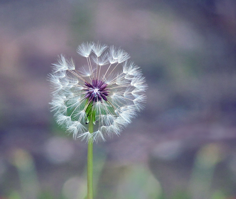 Macro nature photography of a soft and gentle dandelion.