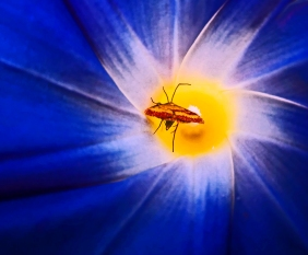 Macro nature photography of a moth walking into the center of a bright colorful flower.