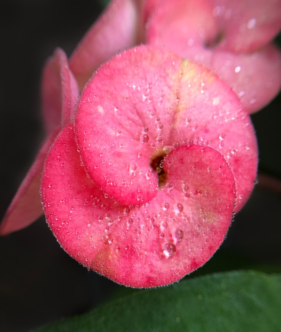 Macro floral photography of a pink flower with dew drops.