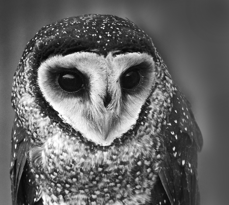 Black and white bird photography of the head of an owl.