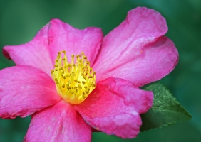Floral photography of a pink camellia blossom from Brookgreen Gardens in South Carolina.