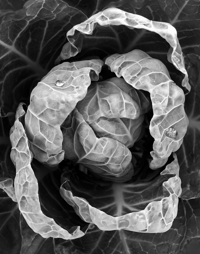 Black and white close up photography of a cabbage head growing in a garden.