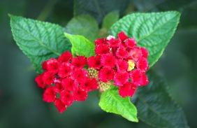 Close up floral photography of pink lantana from Brook Green Gardens in South Carolina.