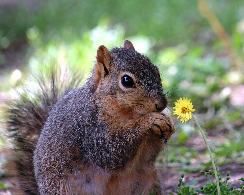 Wildlife photography of a cute backyard squirrel looking at a flower.