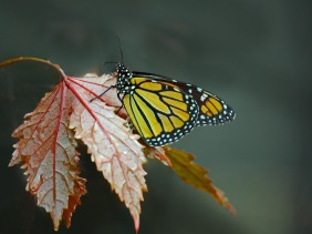 Close up nature photography of a Monarch butterfly on a leaf from Cypress Gardens, South Carolina.
