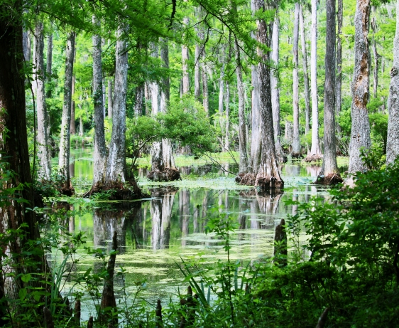 Southern Landscape photography of cypress tress growing in a swamp at Cypress Gardens, South Carolina.