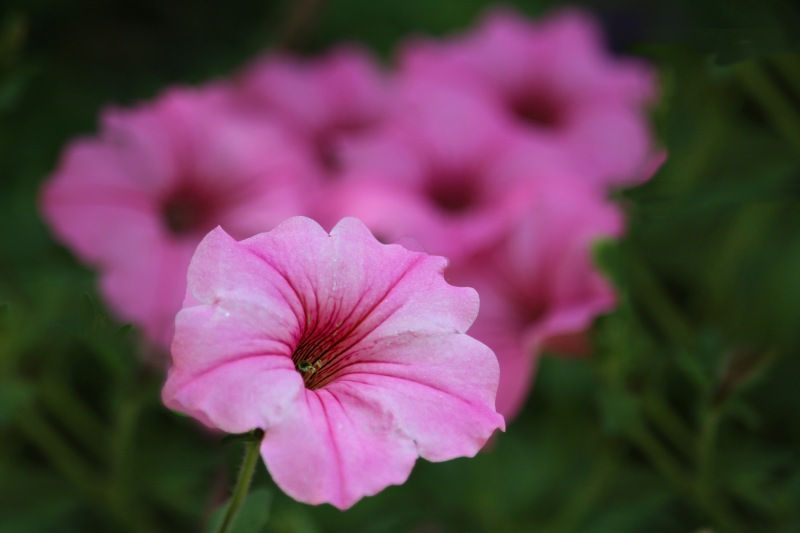 Close up floral photography of a pink petunia.