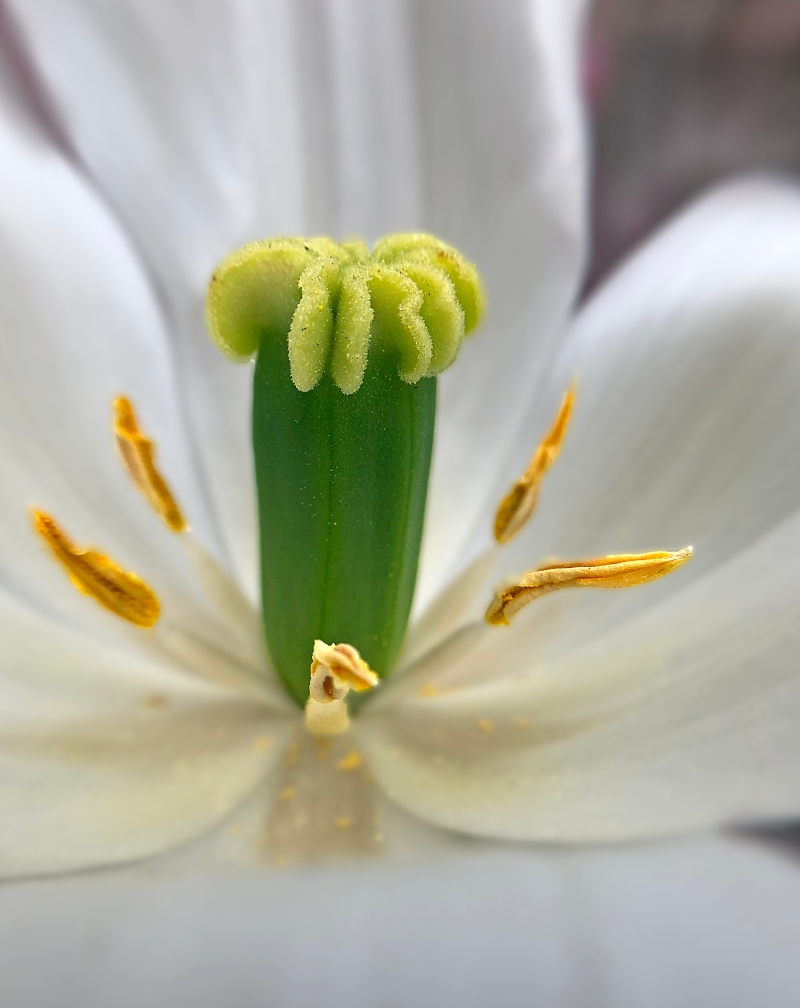 Macro floral photography of the stamen of a tulip.