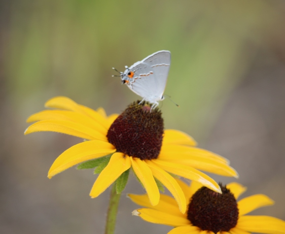 Close up nature photography of a white butterfly perched on a daisy.