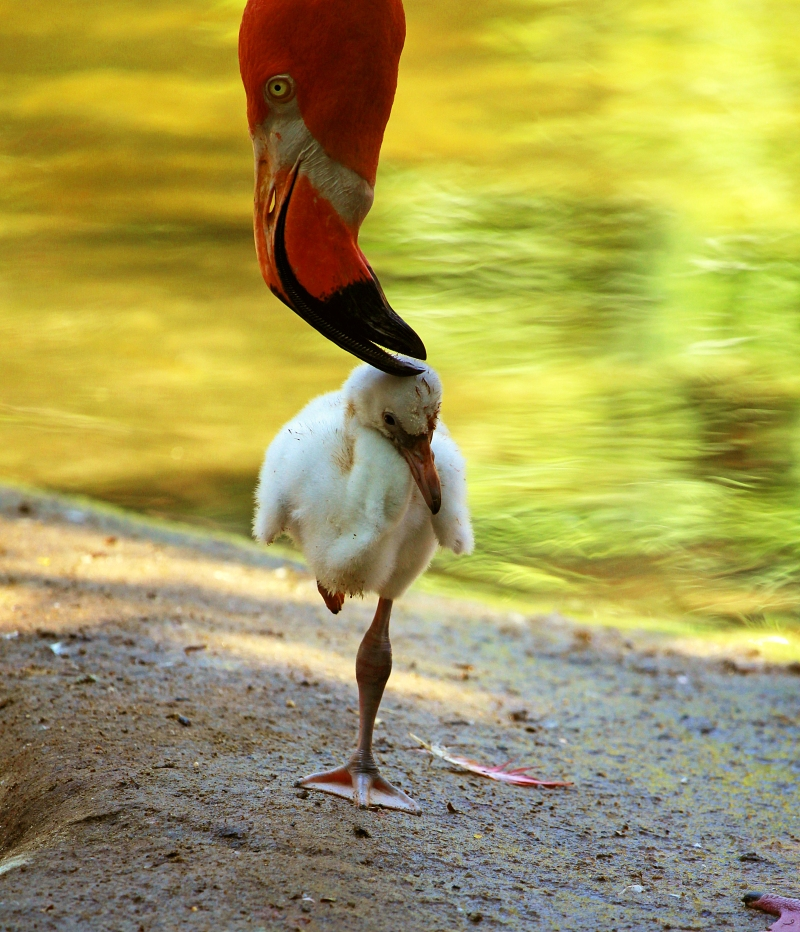 Bird photography of a baby flamingo standing on one leg.