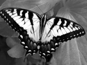 Close up black and white wildlife photography of a butterfly.