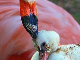 Close up wildlife bird photography of a mother and baby flamingo.