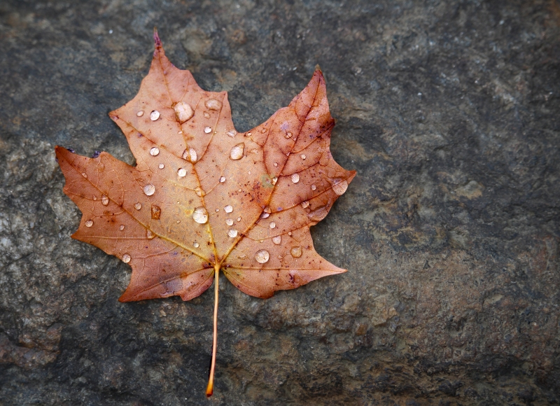 Close up nature photography of rain drops on a fall leaf.