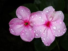 Macro floral photography of dew drops on pink impatiens petals.