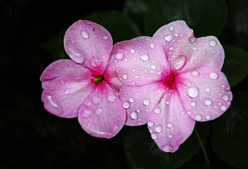 Macro floral photography of dew drops on pink impatiens petals.