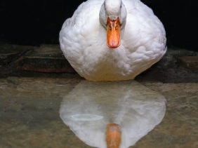 Bird photography of a white duck reflecting in the water.