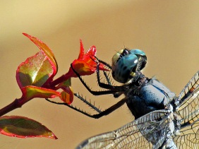Macro nature photography of a dragonfly eating a flower.