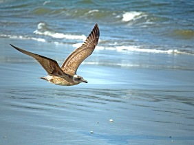 Wild life bird photography of a sea gull flying over the beach.