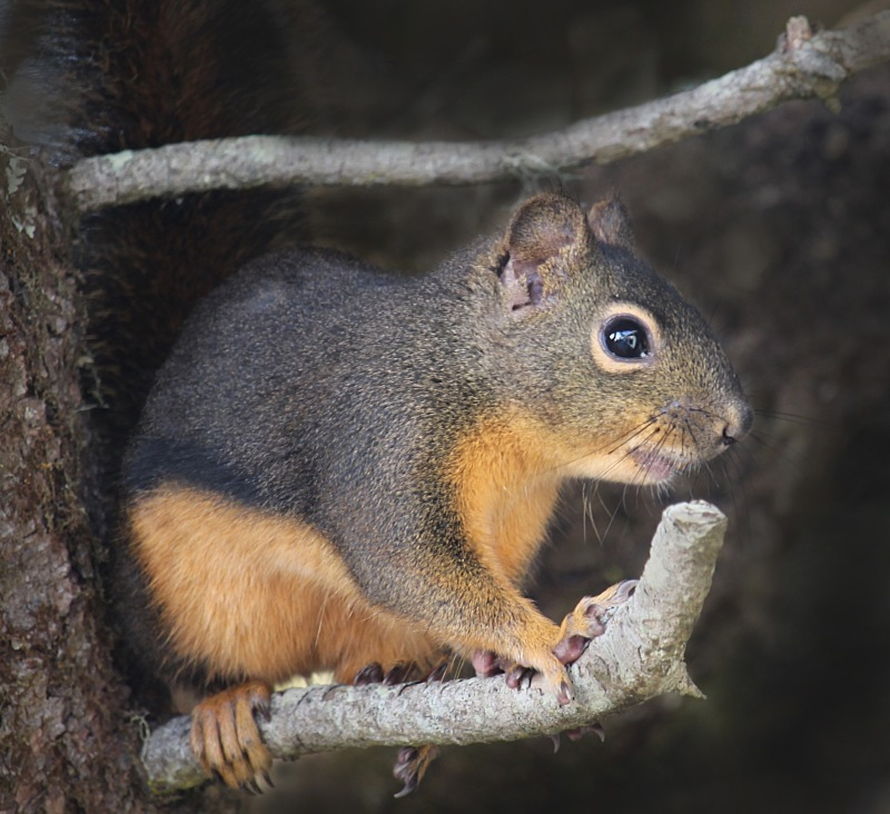 Wild life photography of a pine squirrel commonly found on the Oregon Coast.