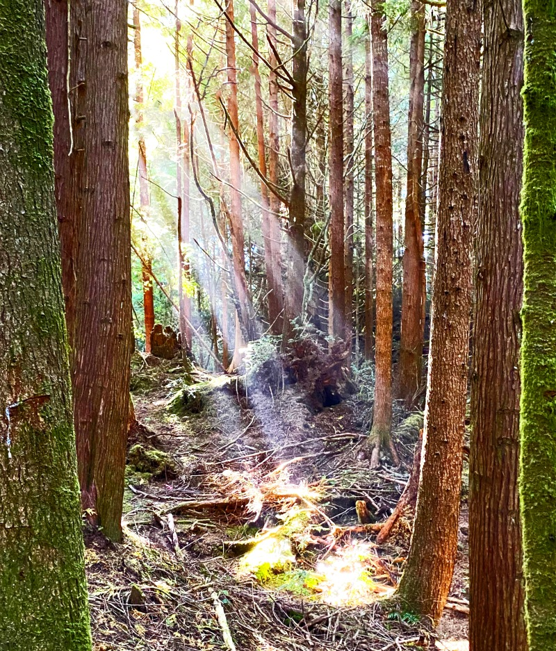 Landscape photography of sun rays filtering through the trees in the woods.