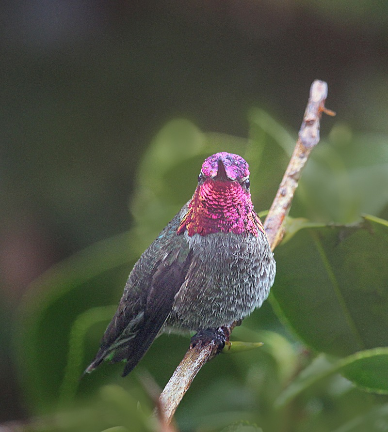 Wildlife bird photography of a male Anna's Hummingbird perched on a branch from Waldport, Oregon.