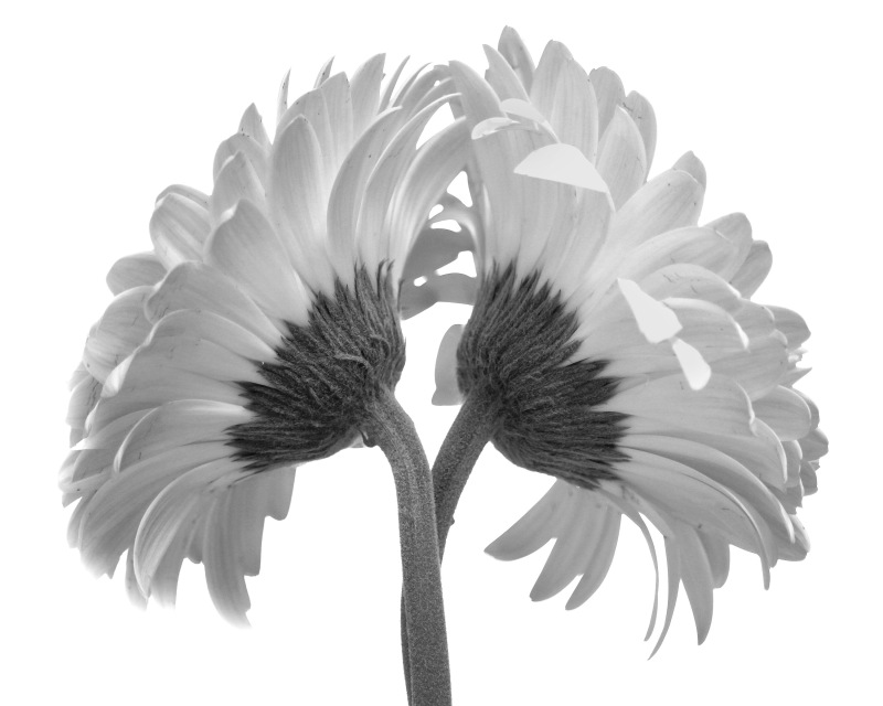 Black and white floral photography of two daisies.