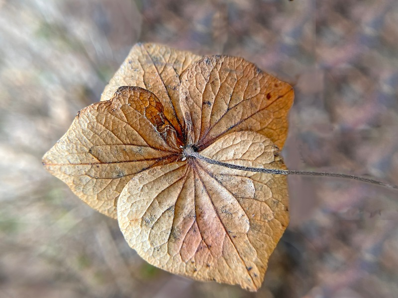 Macro floral photography of fading hydrangea pedals.