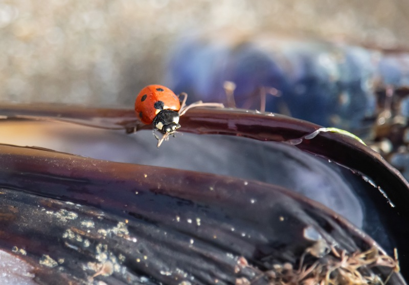 Macro nature photography of a ladybug on a mussel shell on the Oregon Coast.