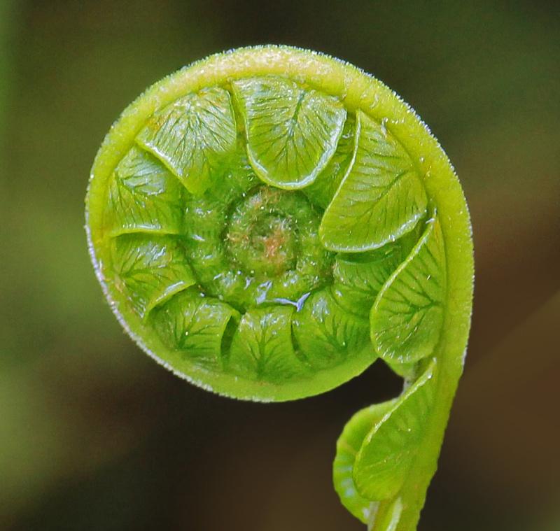 Macro nature photography of an unfurled fern leaf.