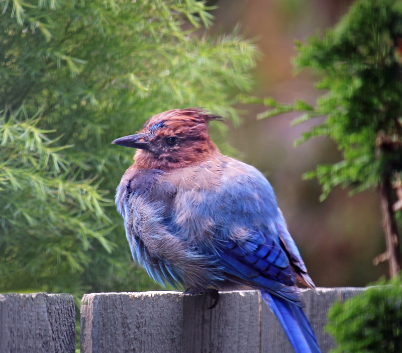 Wildlife bird photography of a stellar jay perched on a fence in Waldport, Oregon.