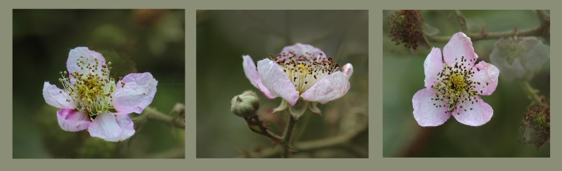 Floral photography of three blackberry blossoms from the Oregon Coast.